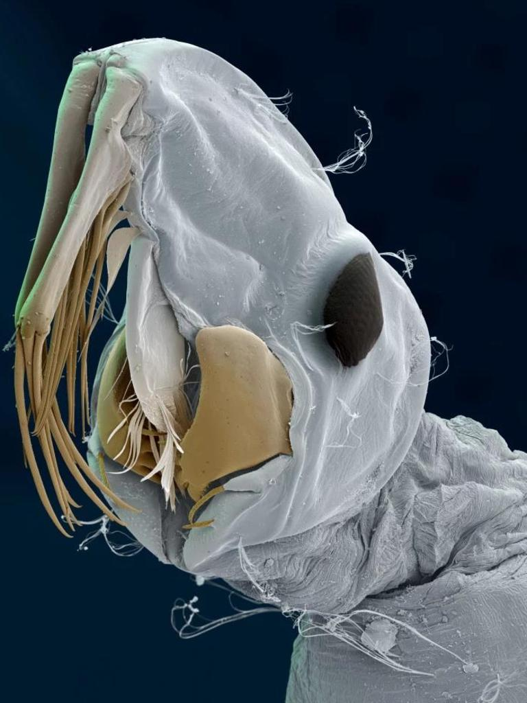 Phantom midge larvae live in deep water. Picture: Eye of Science/Science Photo Library