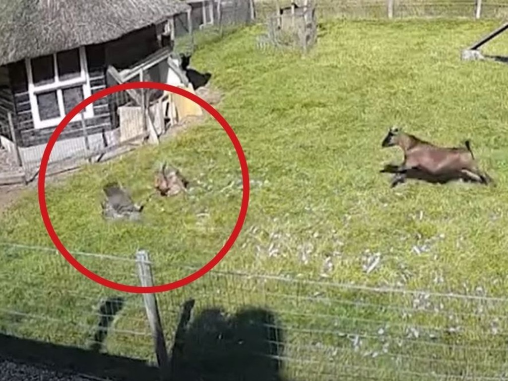 A goat and rooster rushed to save their chicken friend who was attacked by a goshawk. Picture: Kennedy News/SWNS