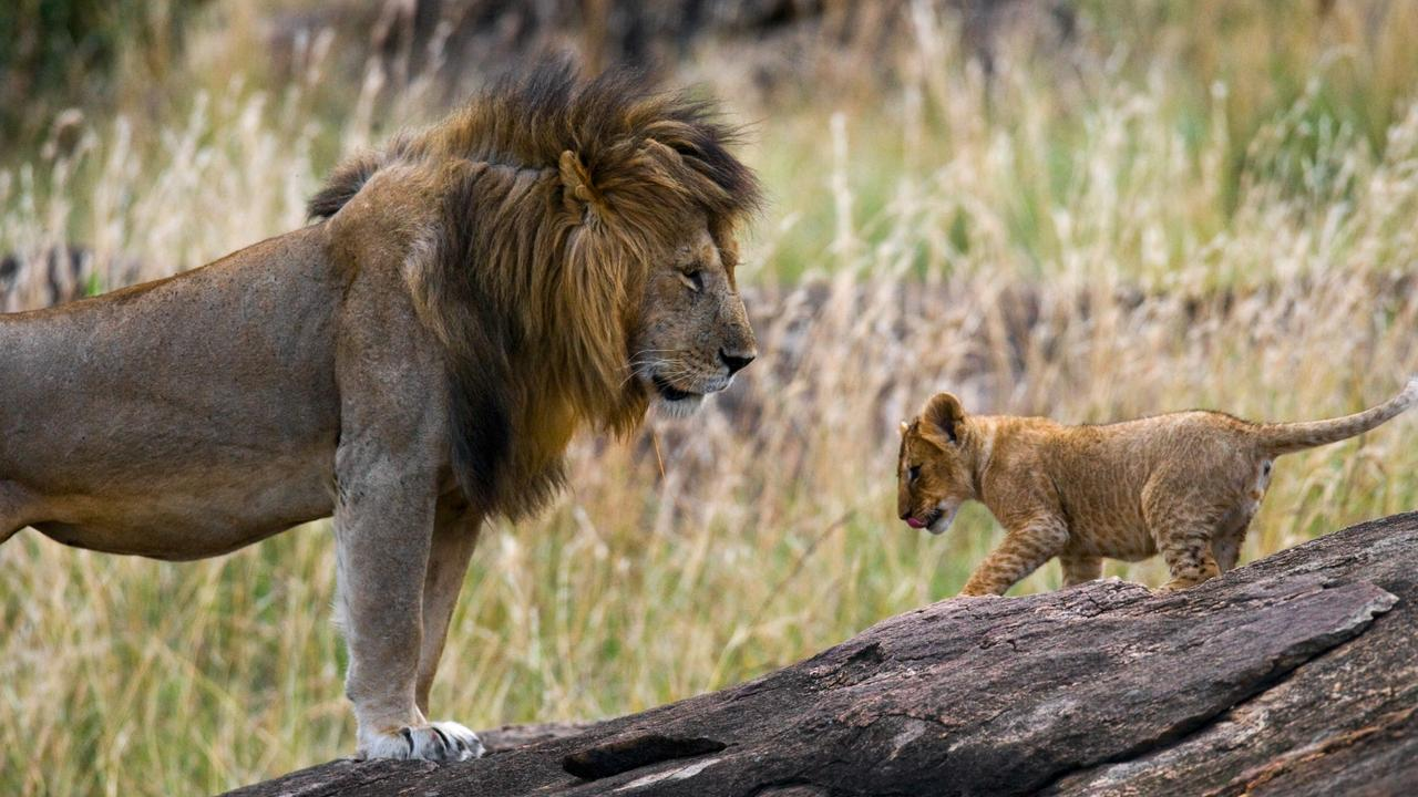 Big male lion with cub.