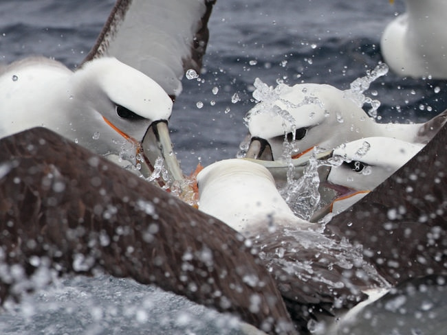 1/12TASMANIA: Breeding only in Tasmanian waters, Shy Albatross are one of the most commonly encountered albatross species on boat trips off Eaglehawk Neck.