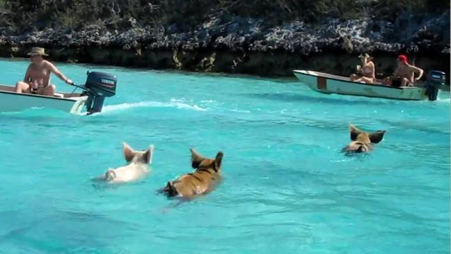The wild swimming pigs of The Bahamas