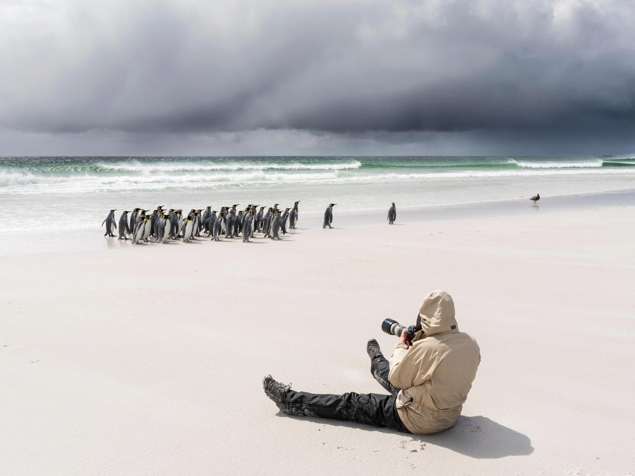 Visitor on a beach with king penguins (Aptenodytes patagonicus). (Large format sizes available)