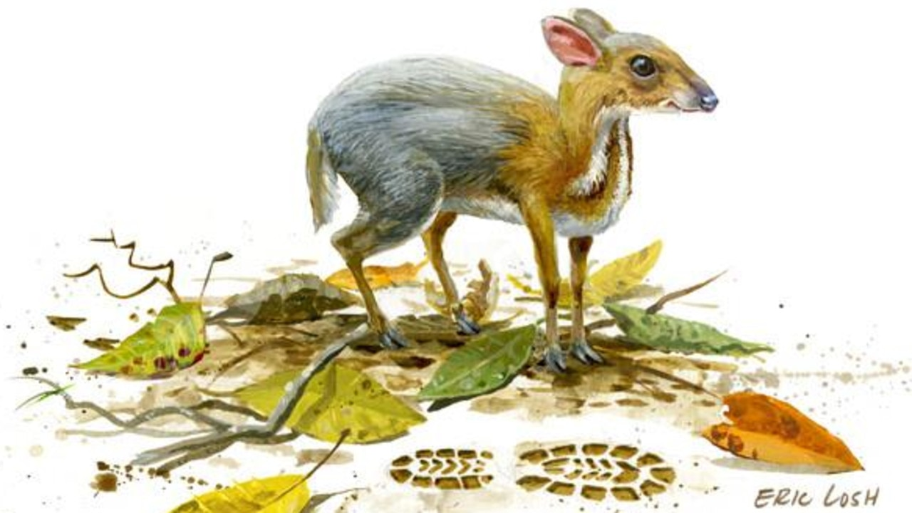 An illustration of the silver-back chevrotain
