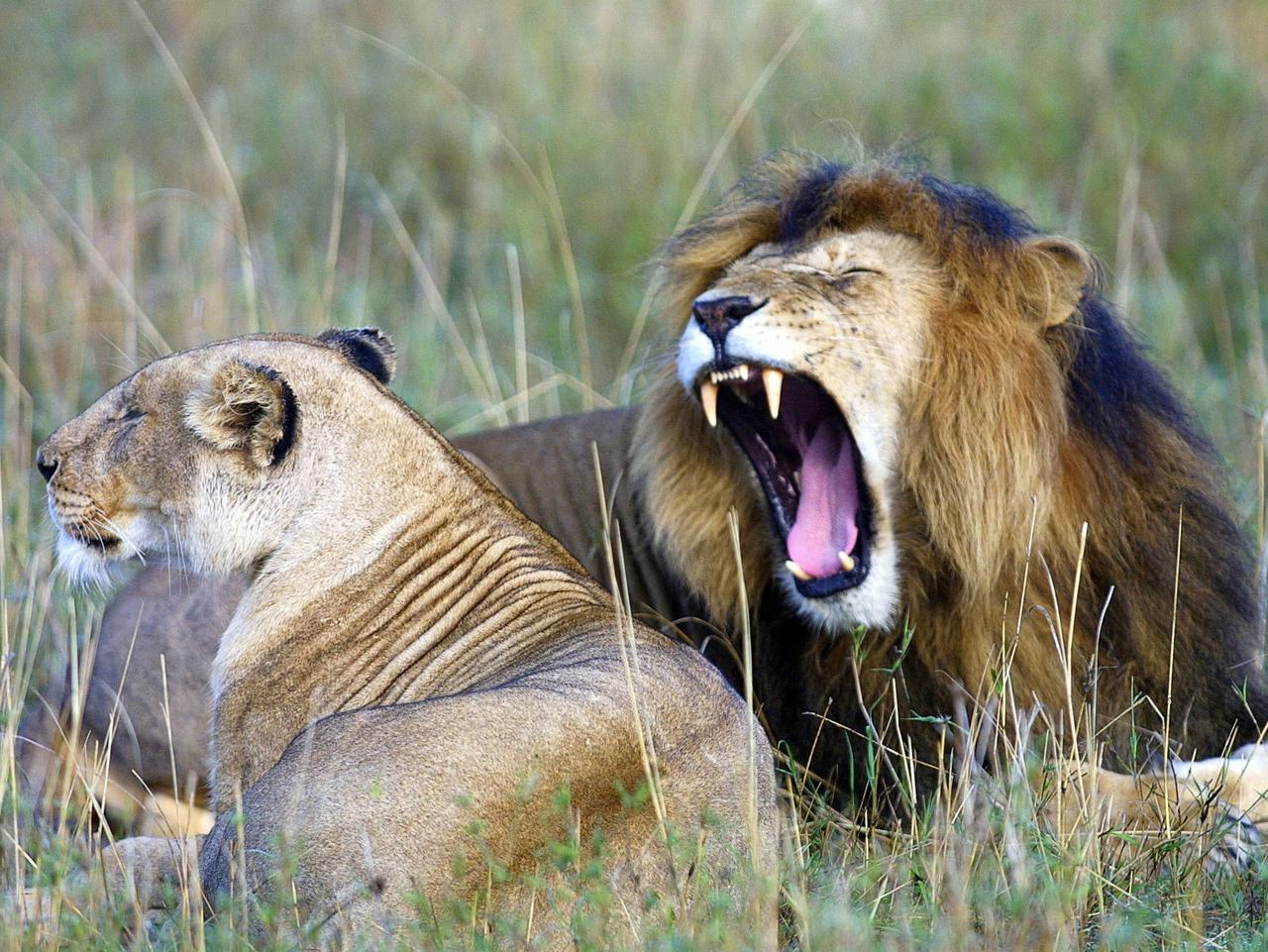 An African Lion yawns next to a lioness in the Maasai Mara, approximately 400 kilometres southwest of Nairobi, in this 24, November 2006 photo. The age-old annual migration of atleast a million Wilderbeast, among other species between the Serengeti game reserve in Tanzania and Kenya's Maasai Mara mainly in search of pasture, is now classified as a ' Wonder of The World'. The Maasai Mara and Serengeti and the Wilderbeast migration were selected as one of the new wonders by a panel of experts in wildlife and nature termed as 'the uniqueness of the area and preservation it provides to so many species living in harmony'. AFP PHOTO/TONY KARUMBA