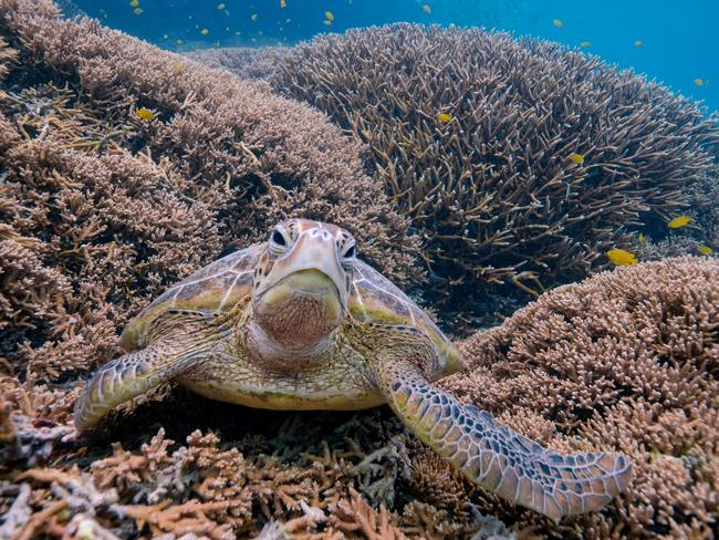 TURTLES Heron Island is home to an incredible amount of marine life that you get to see from inside the scUber including turtles. The most common turtle at Heron is the Green sea turtle with 3000 to 4000 living in the waters around the island. Picture: Mark Fitz