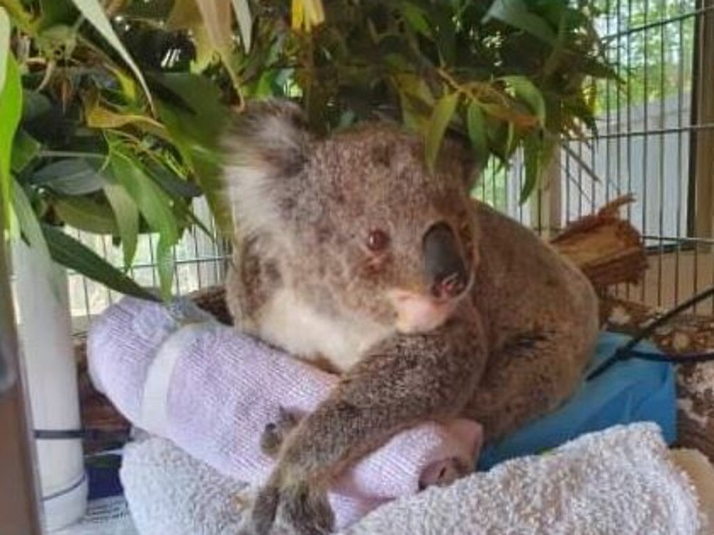 Rescuers fear up to 1000 koalas could have been wiped out in fires across the country in recent weeks. Picture: The Rescue Collective via Facebook