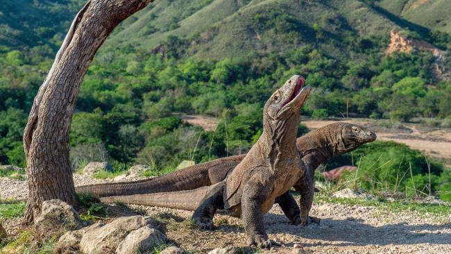 The komodo dragons are understandably the star attraction here.