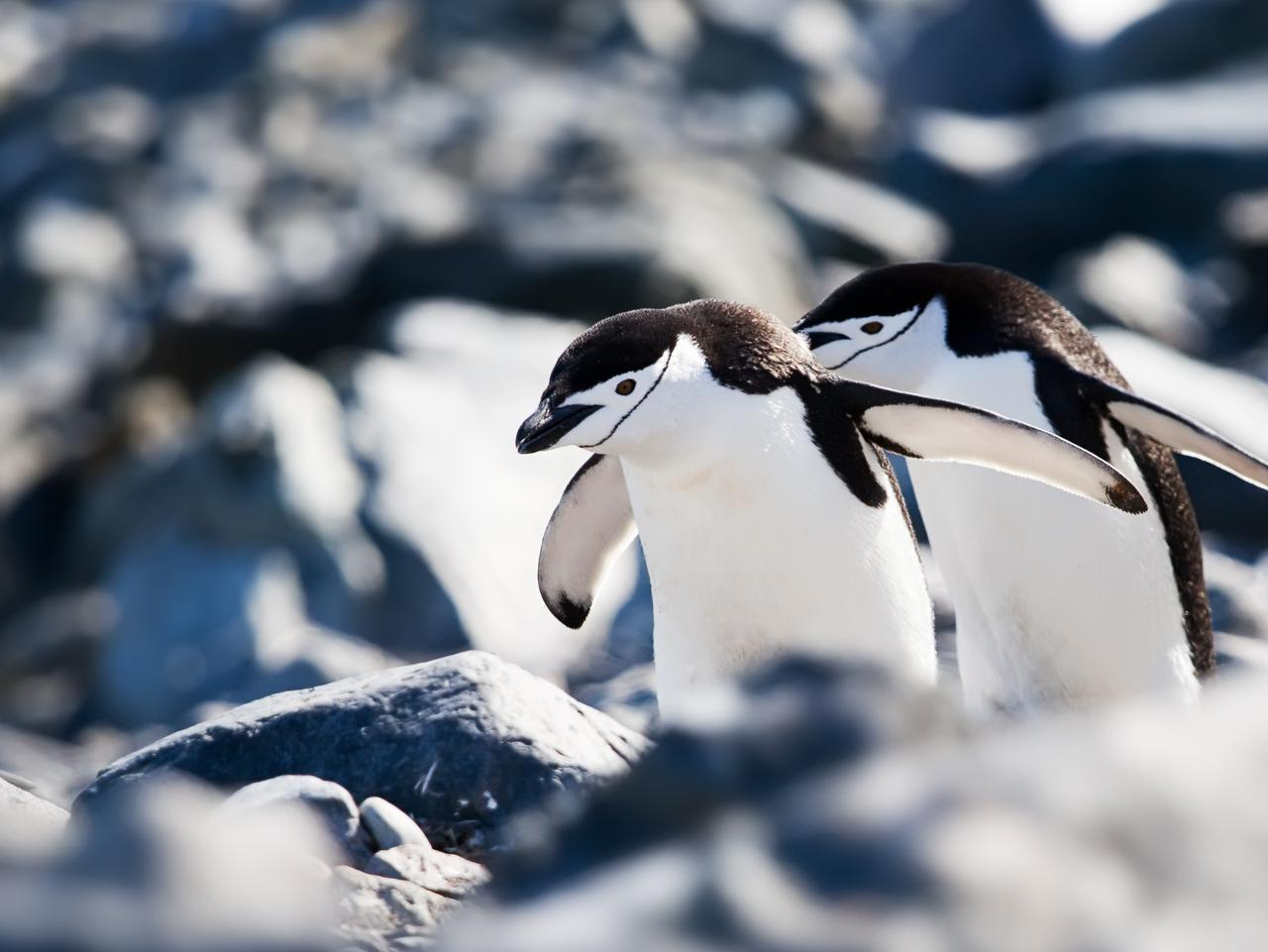 Chinstrap penguins in Antarctica. Picture: Chimu Adventures  Sarah Nicholson story, Sunday Escape