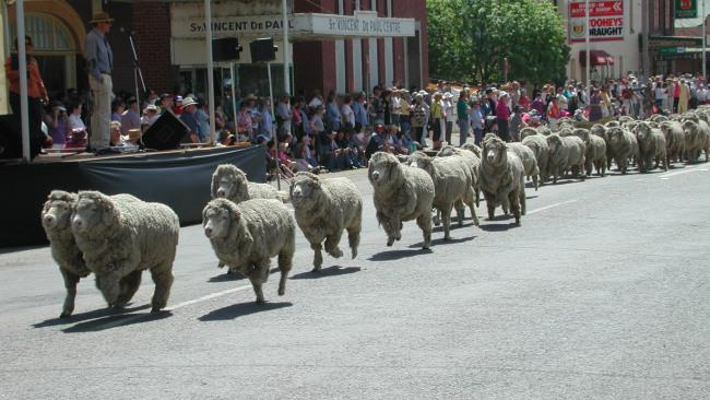 4/9Running of the Sheep, Boorowa Sure, Running of the Bulls sounds good, but it can get a little gore-y. Instead opt to watch their fluffier, smaller and way more docile farmyard buddies - sheep. Every year, they lead the street parade during Woolfest. Picture: Supplied