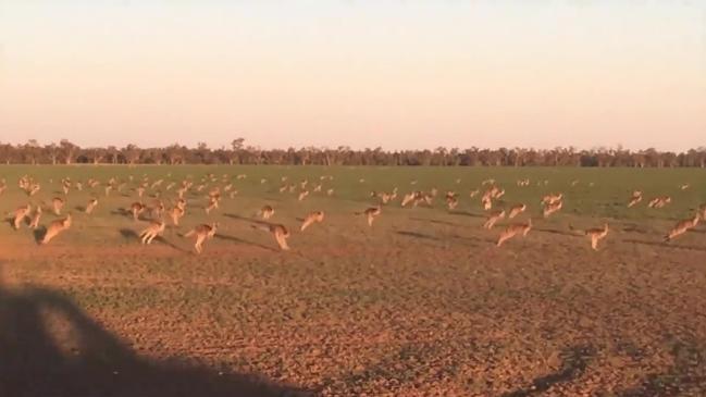 Hordes of kangaroos on farmland