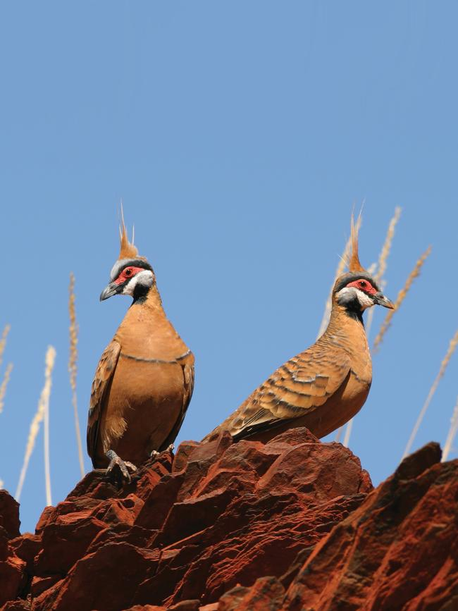 9/12PILBARA, WESTERN AUSTRALIA: The red-bellied form of the Spinifex Pigeon is common through much of the Pilbara. Sightings are possible in and around the gorges, campgrounds and carparks within Karijini National Park.