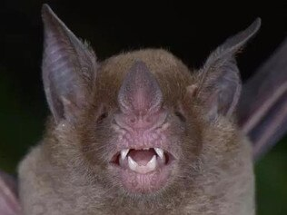 They also stumbled upon pale-faced bats that haven't been seen in Honduras for 75 years. Picture: Trond Larsen