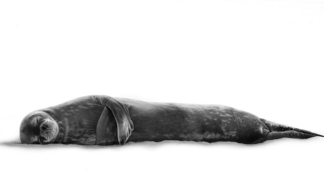 A Weddell seal in Antarctica appears at peace as it rests in the safety of the think ice from any surveying predators.