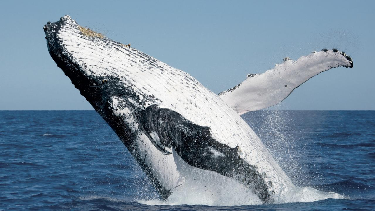 Hervey Bay is one of the best places in the world to see humpback whales. Picture: Tourism and Events Queensland