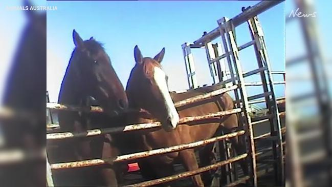 Graphic: Animals Australia 'exposes' the horse racing industry