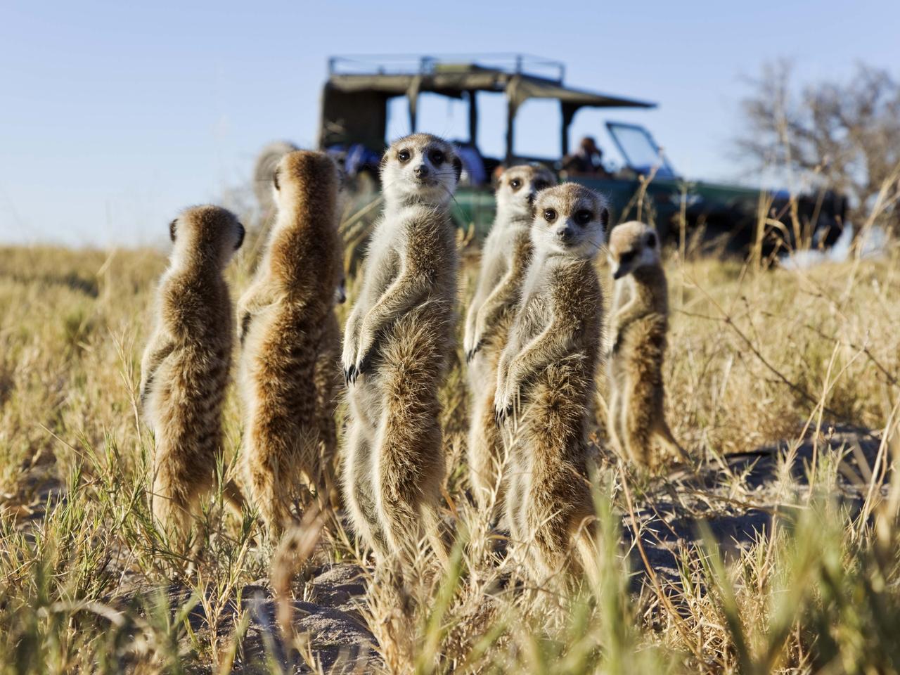 Meerkats standing in field, Botswana