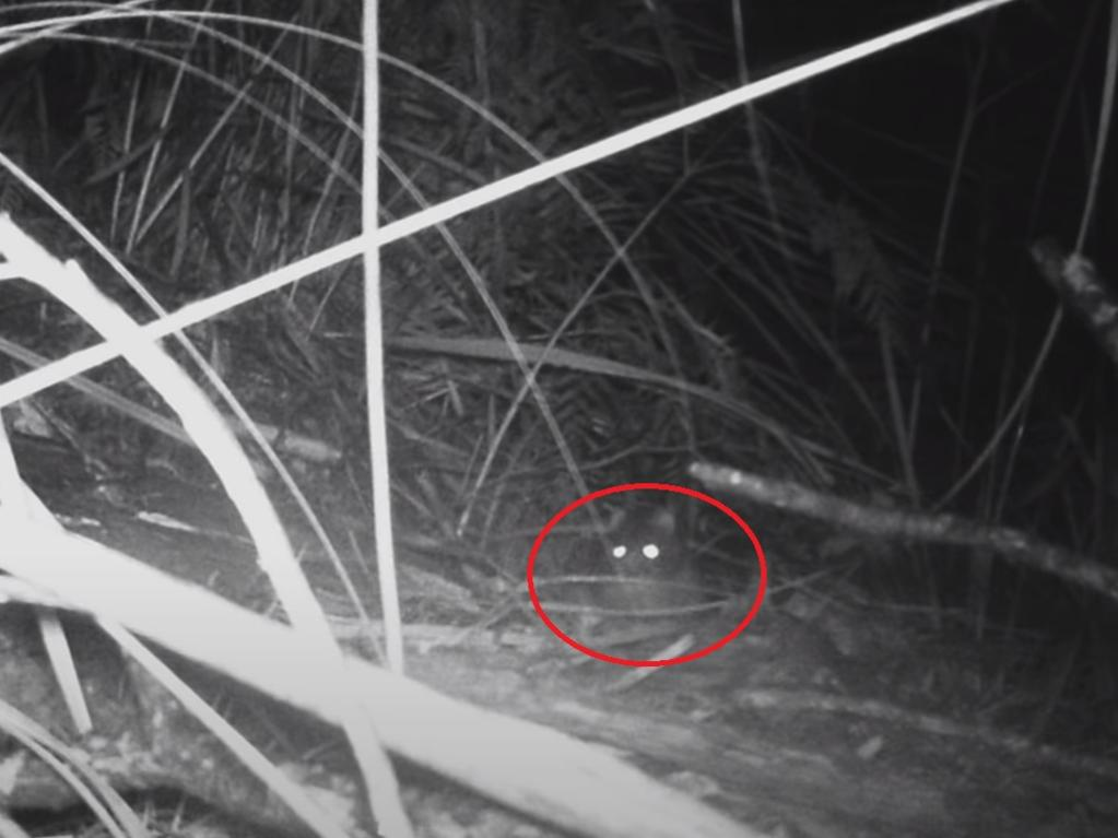 One of the images captured of a 'Tasmanian tiger'. Picture: Thylacine Awareness Group of Australia