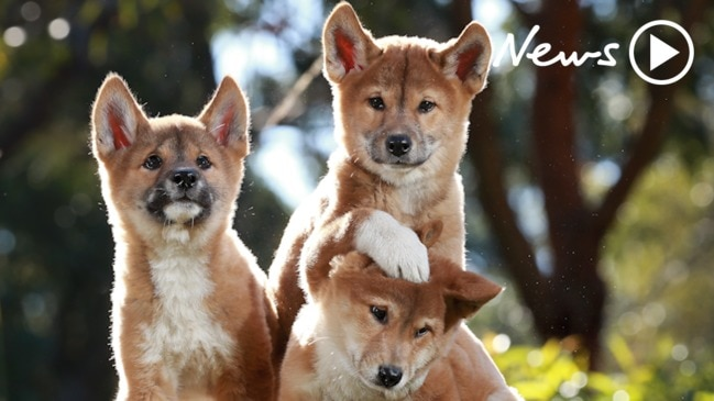 Dingo pups at Australian Reptile Park