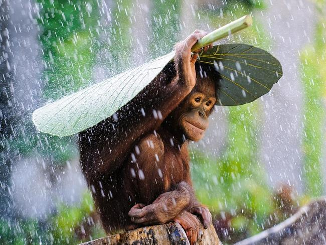 Orangutan In The Rain ... I was taking pictures of some Orangutans in Bali when it started to rain. Just before I put my camera away, I saw this Orangutan take a taro leaf and put it on top of its head to protect himself from the rain, and I immediately caught the moment. Location: Bali, Indonesia. Picture: Andrew Suryono (ID)/Siena International Photo Awards 2016