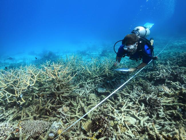 A scientist measuring coral bleaching in October 2016. Picture: Tane Sinclair-Taylor/ARC Center of Excellence via AP.