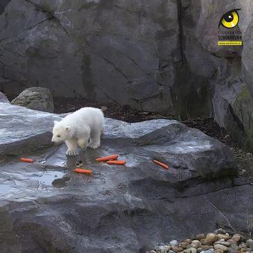 Adorable Polar Bear Cub Prepares to Meet Public at Vienna Zoo