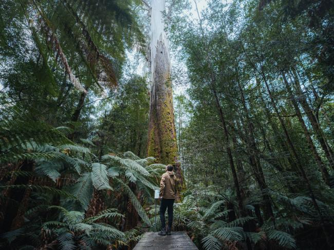 Walk among the world's tallest white gums They may sound like something out of a fantasy novel, but the White Knights of Evercreech are real enough. The world's tallest white gums – Eucalyptus viminalis - reach more than 90 metres into the sky, and the oldest are more than 300 years old. You'll find them on a short walk through Evercreech Forest Reserve, in Tasmania's north-east. White Knights - Evercreech Forest Reserve. Credit: Jason Charles Hill