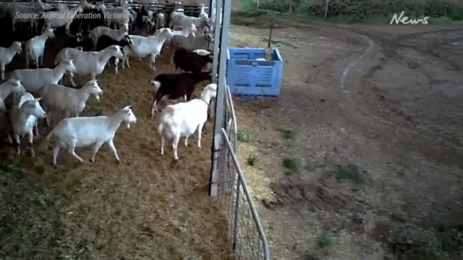 Horrifying vision of baby goat slaughter