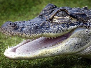 3 year old Mississippi alligator.  She can live to over 100 years and grow to 4 metres.