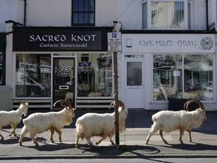 BESTPIX - Goats Roam Welsh Town As Coronavirus Lockdown Empties Its Streets