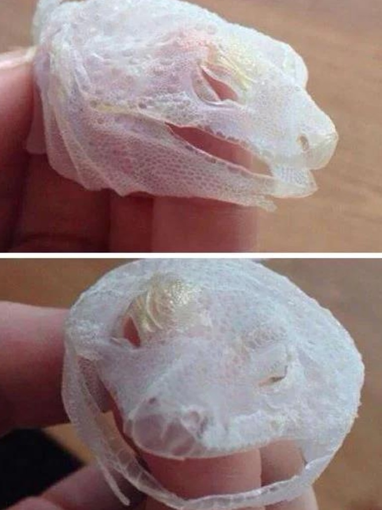 A lizard managed to shed its entire face - in just one go