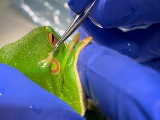 Melbourne Zoo - white-lipped tree frog surgery. For Kids News