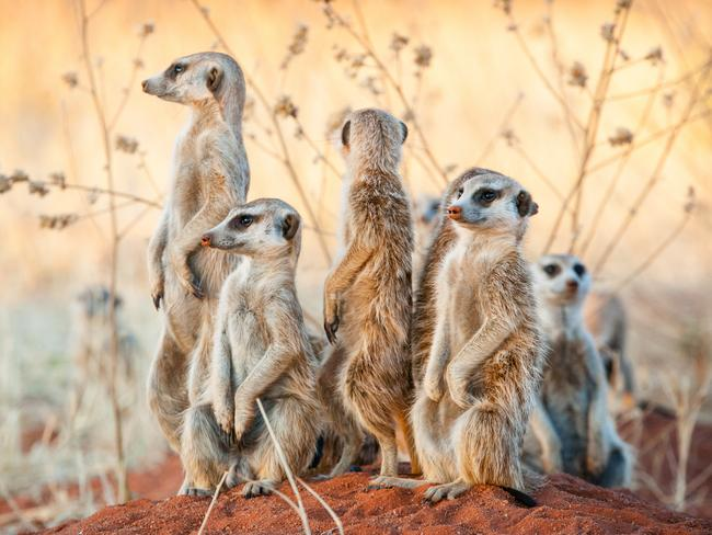 MEERKAT MOBS When you seer a meerkat on safari, this is more than likely what you'll see. In the wild these adorable creatures take turns keeping lookout in small groups (called mobs), guarding their burrows in the Kalahari Desert.