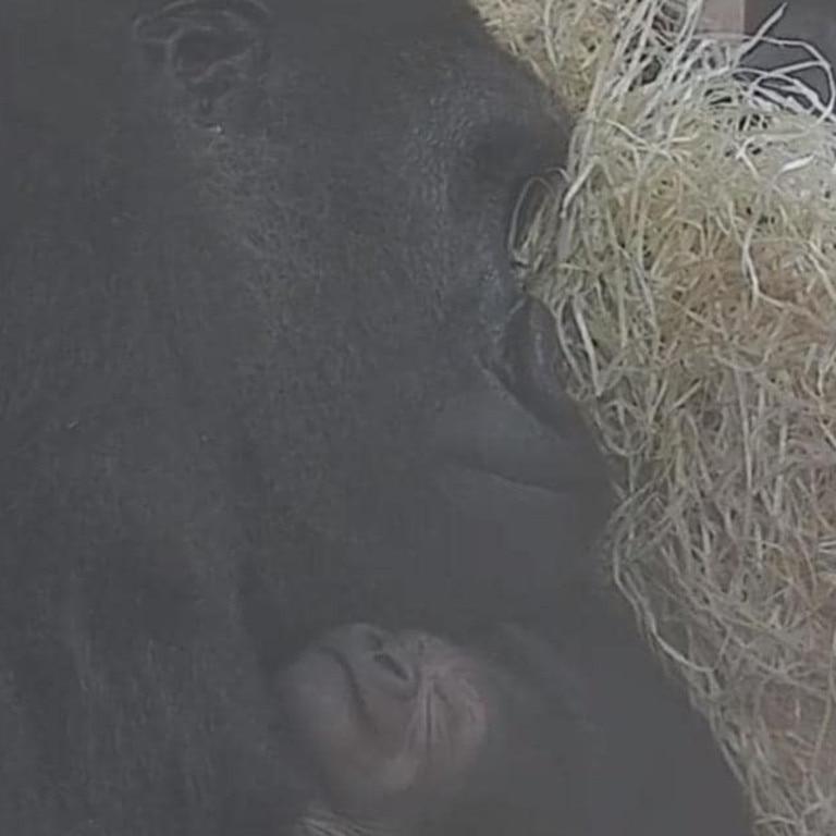 Kala with her newborn infant gorilla. Picture: Bristol ZooSource:Supplied
