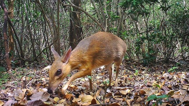 A silver-backed chevrotain. Picture: Global
