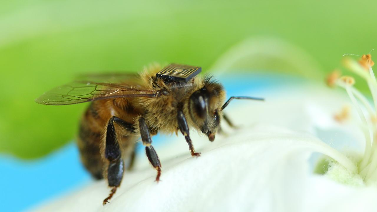 """A bee wearing a micro-sensor as part of the """"Bees with Backpacks"""" program. Picture: supplied"""
