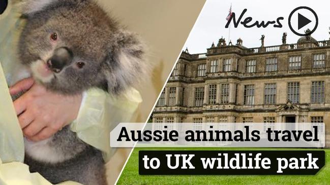 SA koalas on trip to UK