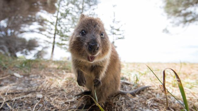 2/6Head over to Rottnest Keen on a quokka selfie? Jump on a ferry from Perth, Fremantle or Hillarys for the short 19-kilometre passage to idyllic Rottnest Island (Wadjemup). After taking that pic, hire a bike and discover some of the island's 63 beaches and 20 bays. Adventure offerings here include kayaking around Pinky's Beach on a tour with Sea Kayak Rottnest, sunset and snorkels with Charter 1 or a Wild Seafood Cruise with Rottnest Cruises excursion where you can catch crayfish to feast on sashimi-style or have barbecued onboard, perfectly paired Howard Park wines. Cap the day with a beer at the Rottnest Hotel overlooking Thomson Bay. Prefer to fly? Swan River Seaplanes' flights from Perth to Rottnest offer incredible scenic views of the island.