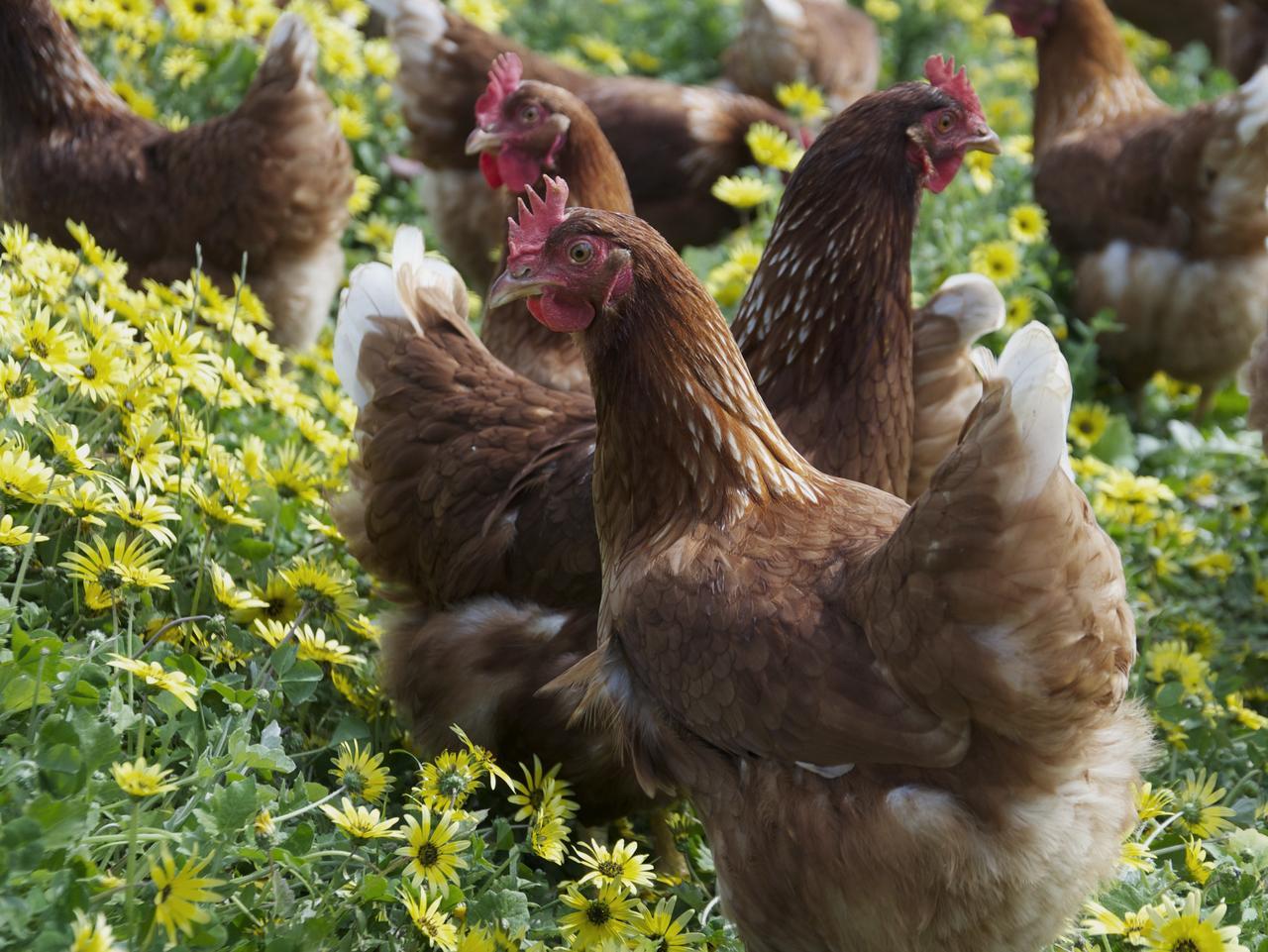 Supplied Travel Kangaroo Island free range chickens