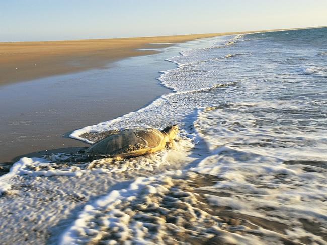 The beautiful Sea Turtles are an icon of the Territory. Picture: Tourism NT.
