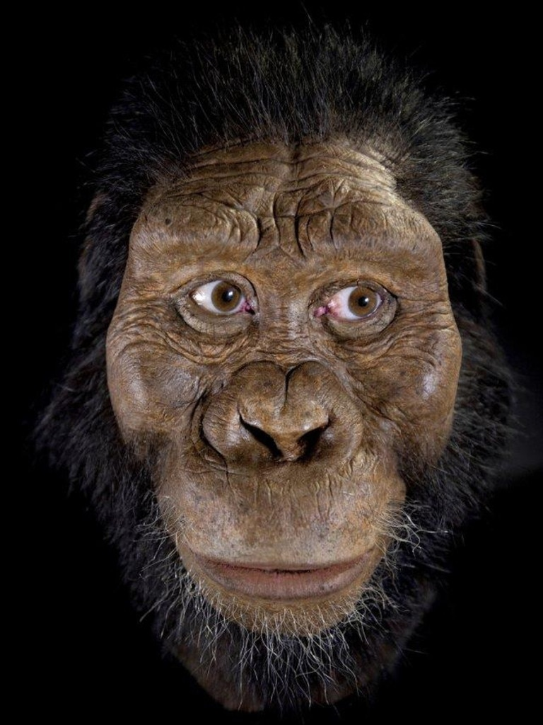 "a facial reconstruction model by John Gurche made from a fossilized cranium of Australopithecus anamensis. The species is considered to be an ancestor of A. afarensis, represented by ""Lucy"" found in 1974. From 3.8 million years ago, the ancestral species is the oldest known member of Australopithecus, the grouping of creatures that preceded our own branch of the family tree, called Homo. (Matt Crow/Cleveland Museum of Natural History via AP)"