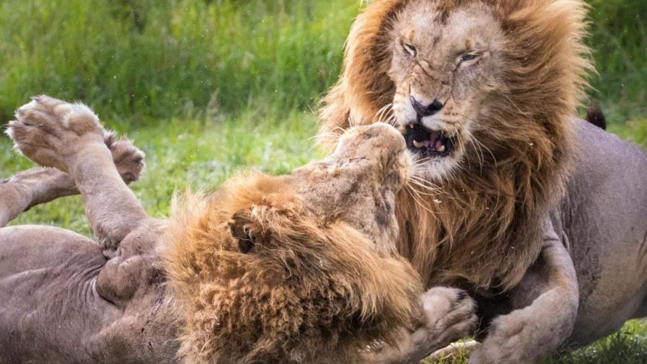 Two male lions in a ferocious wrestle in Kenya. Picture: Stephen Underwood