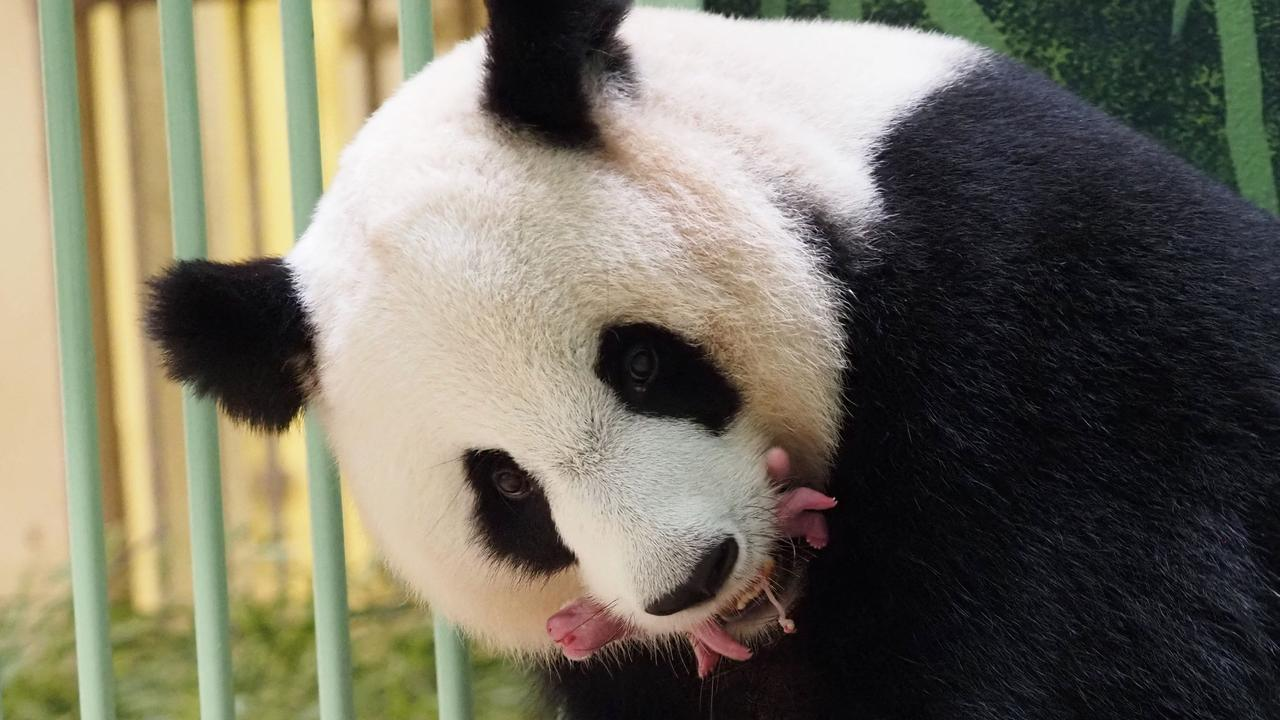 Beauval Zoo: the panda twins are born