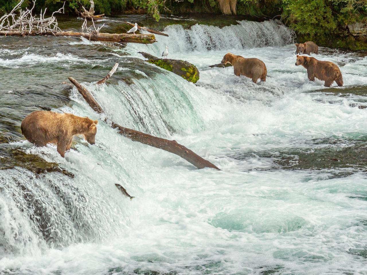 Four Alaskan grizzly bears fishing for salmon at Brooks Falls, Alaska, USA. A single salmon can be seen in midair with a bear waiting to catch it.