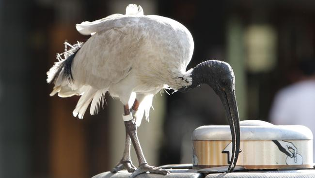 Despite its bad wrap, the Australian public seem to still have a soft spot for the dumpster-diving bird.
