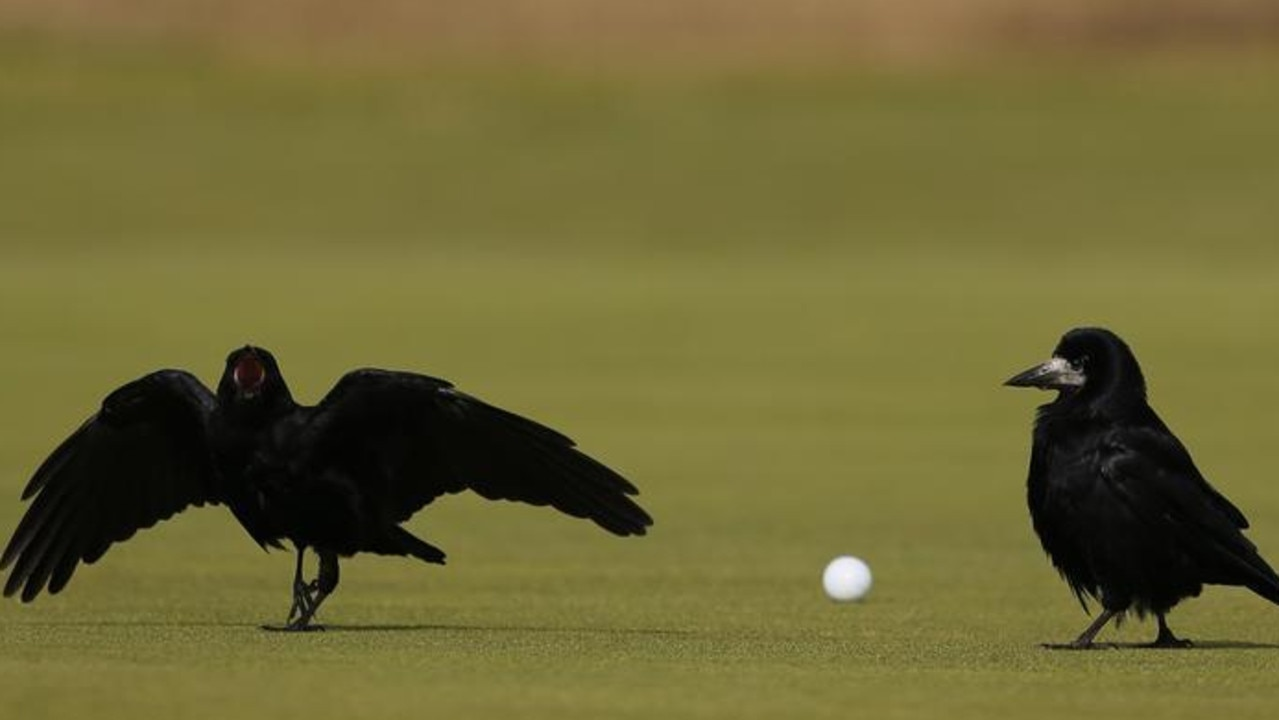 A pair of rooks walk past a golf ball on the ninth hole during the first round of the British Open on the Old Course in St. Andrews, Scotland, July 2015. Picture: Reuters