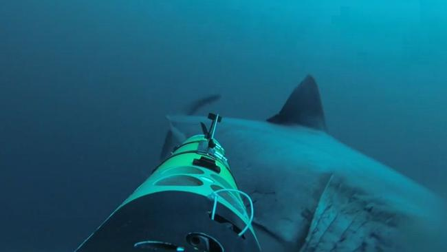 Dinner denied ... the miffed Great White swims away after its bite failed to breach the REMUS camera drone. Picture: Discovery Channel