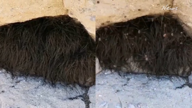 Tourists prod sleeping 'furry' animal only for hundreds of spiders to rush at them