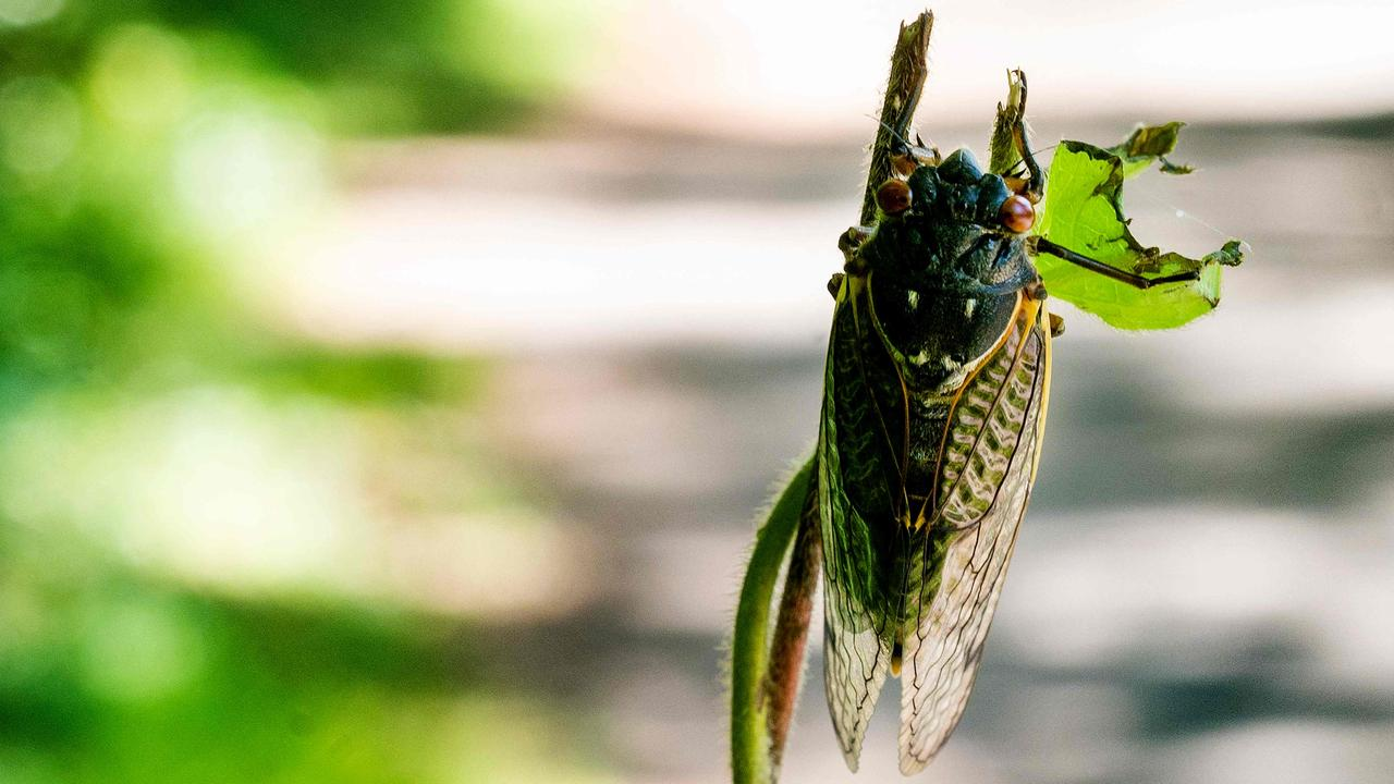 A periodical cicada nymph clings to a tree branch on May 11, 2021 in Greenbelt, Maryland, US. Picture: AFP