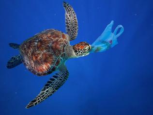 Sea turtles often confuse plastic with their usual foods, causing them to ingest the man-made material. Picture: Paulo Oliveira
