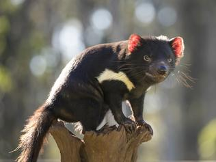 **WARNING:UNDER EMBARGO UNTIL Monday 5th October at 2pm ** **EMBARGOED UNTIL OCTOBER 05 **  For the first time in 3,000 years, the Tasmanian devil is back in the wild on mainland Australia, an historic moment that is critical to rewild Australia, the country with the world's worst mammal extinction rate. Aussie Ark, in partnership with Global Wildlife Conservation and WildArk, recently released 11 Tasmanian devils into a 400-hectare (nearly 1,000 acres) wildlife sanctuary on Barrington Tops. Actor power couple Elsa Pataky and Chris Hemsworth, who is a WildArk Ambassador, helped release some of the animals—including Lenny and Lisa—into their new home. Picture: Aussie Ark